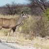 And then a kudu came into view; this was going to be a nice drive!