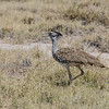 We saw several of these Kori Bustards; not lovely, but definitely desert-adapted.