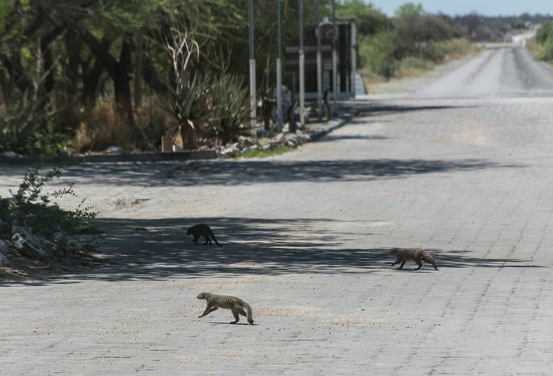 We arrived at Etosha NP and immediately spotted some striped mongoose wandering around -- we felt very much at home.