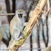 vervet monkey - Amboseli NP - Kenya