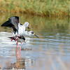 black winged stilts mating - Lake Navaisha-3