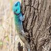 southern tree agama - Serengeti-2
