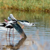 black winged stilts mating - Lake Navaisha-4