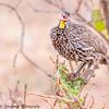 yellow-throated spurfowl - Tarangire NP - Tanzania-3