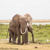 Elephants and calf - swamp - Amboseli NP, Kenya