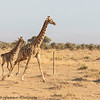 cow and calf giraffe- Amboseli