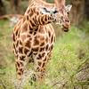giraffe & acacia - Lake Nakuru NP - Kenya2