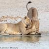 lion greeting - Tarangere NP - Tanzania-2