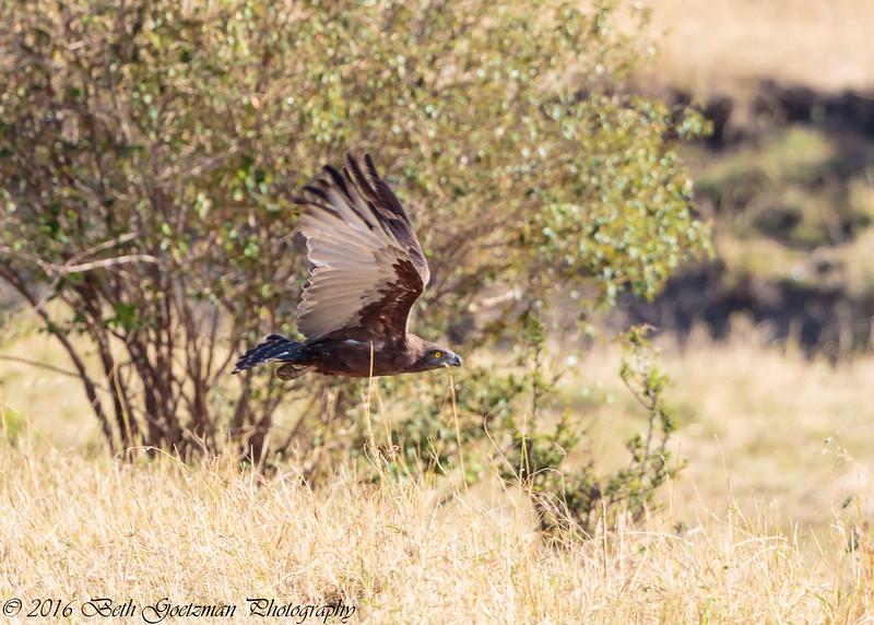 tawney eagle in flight -  Masai Mara Preserve - Kenya