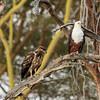 Fish eagles- Lake Laivasha