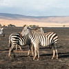 Zebra - Negorongoro NP - Tanzania-2