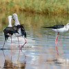 black winged stilts mating - Lake Navaisha-5