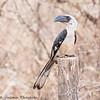 Von der Decken's Hornbill - female - Amboseli NP, Kenya-4
