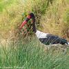 saddle-billed stork- Lake Nakuru NP - Kenya