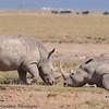white rhino - Amboseli