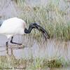 sacred ibis - Amboseli NP - Kenya