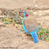 red-cheeked cordon-bleu - male- Arberdale NP - Kenya