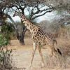 giraffe - Tarangere NP - Tanzania-2