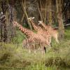 giraffe nursery - Lake Nakuru NP - Kenya4