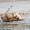 lions at play- Tarangere NP - Tanzania