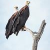 fish eagle pair - Lake Naivasha NP - Kenya