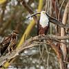 Fish eagles- Lake Laivasha-3