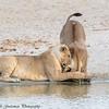 lion greeting - Tarangere NP - Tanzania
