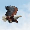 fish eagle - flight-2
