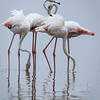 greater flamingos-8