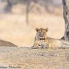 young lions - Tarangere NP - Tanzania-7
