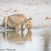 lioness reflection- Tarangere NP - Tanzania
