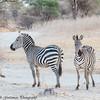 zebra - Tarangere NP - Tanzania