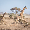 cow giraffe and calf - Amboseli - Kenya
