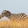 zebra - Amboseli NP - Kenya