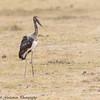Saddle billed stork - immature -  Masai Mara Preserve - Kenya