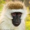 Vervet Monkey-  Lake Naivasha NP - Kenya