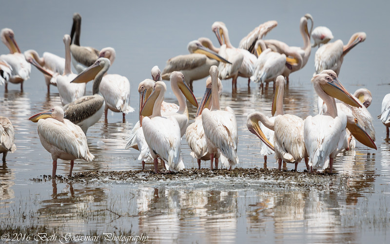 great white pelicans - Lake Manyara