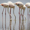 greater flamingos-4