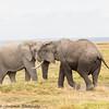 elephant tussle - Amboseli NP, Kenya-18