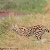 serval - Amboseli NP - Kenya-5