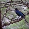 Rupell's starling - Serengeti