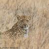 leopard - serengeti-3