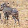 warthog and pigletts  -  Masai Mara Preserve - Kenya-3