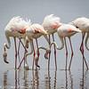 greater flamingos-2