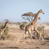cow giraffe and calf - Amboseli - Kenya-2