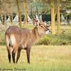 water buck-male - Lake Naivasha NP - Kenya