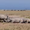 white rhino - Amboseli-3
