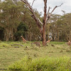 giraffe nursery- Lake Nakuru