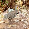 yellow-throated spurfowl - Amboseli NP, Kenya