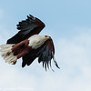 fish eagle - flight